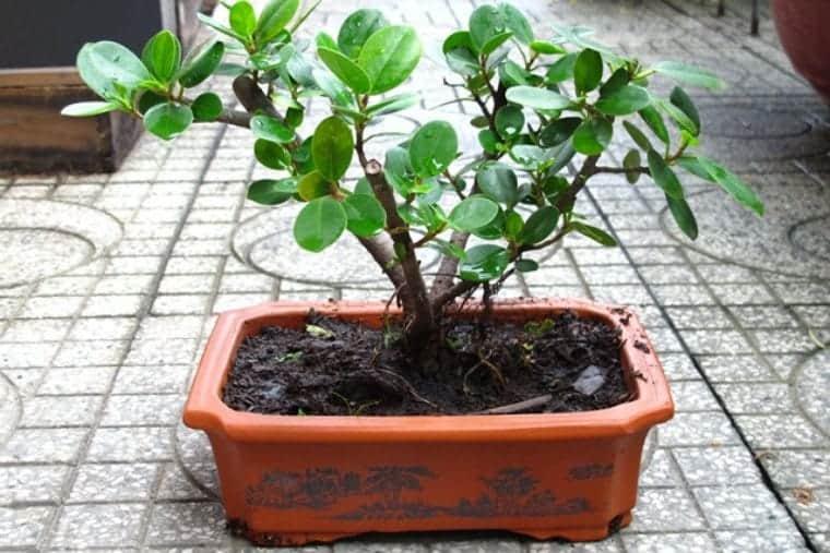 những loại cây không nên để trong nhà